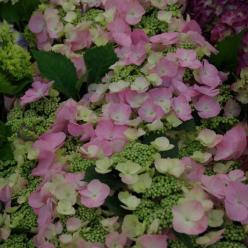 Hydrangea macrophylla 'Frisbee' (='H211903') - Hortensia