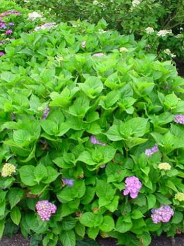 Hydrangea macrophylla 'Hamburg' - Boerenhortensia