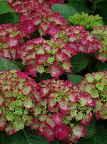 Hydrangea macrophylla 'Royal Red' (='Hbarore') - Boerenhortensia