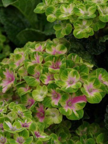 Hydrangea macrophylla 'Magical Coral' (='Hokomac') - Boerenhortensia