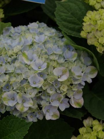 Hydrangea macrophylla 'Magical® Revolution Blue' - Hortensia