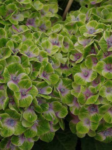 Hydrangea macrophylla 'Magical Amethyst' (='Hokomathyst') - Boerenhortensia