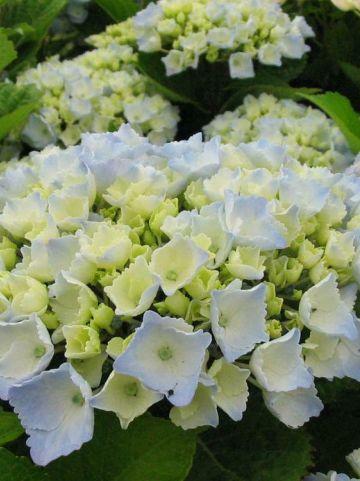 Hydrangea macrophylla 'Hovaria Homigo' (='Homigo') - Boerenhortensia