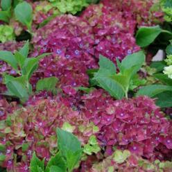 Hydrangea macrophylla 'Schloss Wackerbarth' (='Horwack') - Boerenhortensia