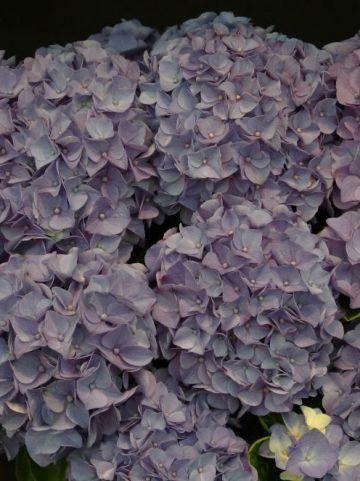 Hydrangea macrophylla 'Jip' - Boerenhortensia
