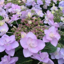 Hydrangea macrophylla 'Jogosaki' - Vuurwerkhortensia