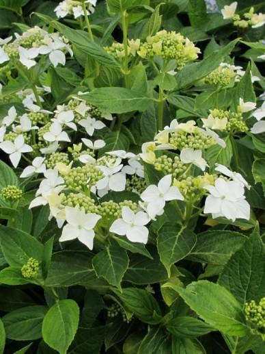 Hydrangea macrophylla 'Lanarth White' - Hortensia