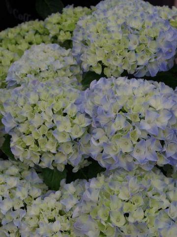 Hydrangea macrophylla 'Libertin' - Boerenhortensia