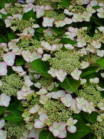 Hydrangea macrophylla 'Love you kiss' - Tuinhortensia