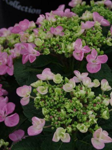 Hydrangea macrophylla 'Lutin' - Hortensia