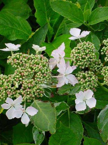 Hydrangea macrophylla 'Maculata' - Bonte hortensia