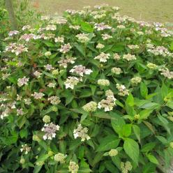 Hydrangea macrophylla 'Mariesii Lilacina' - Hortensia