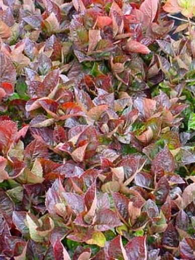 Hydrangea macrophylla 'Merveille Sanguine' - Tuinhortensia