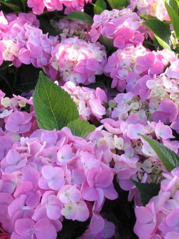 Hydrangea macrophylla 'Messalina' - Hortensia