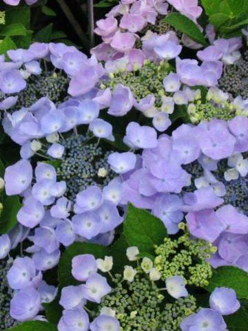 Hydrangea macrophylla 'Sturdy Nanping' (='Nanping') - Hortensia