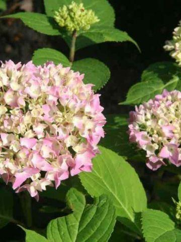 Hydrangea macrophylla 'Nikko Blue' - Boerenhortensia