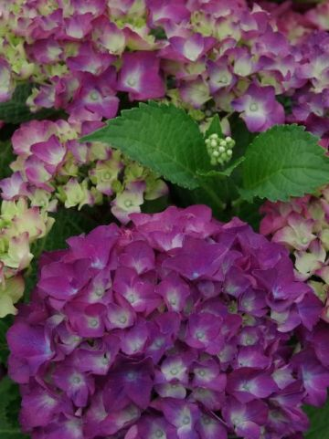 Hydrangea macrophylla 'Red Beauty' - Boerenhortensia