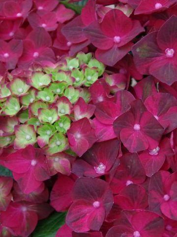 Hydrangea macrophylla 'Magical Ruby Tuesday' (='Ruby Tuesday') - Boerenhortensia