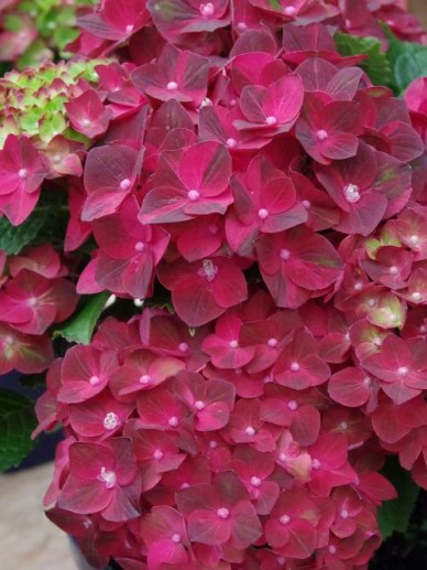Hydrangea macrophylla 'Magical Ruby Tuesday' (='Ruby Tuesday') - Boerenhortensia