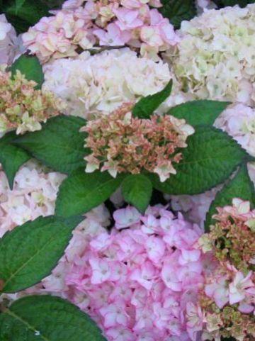Hydrangea macrophylla 'Sabrina' - Boerenhortensia