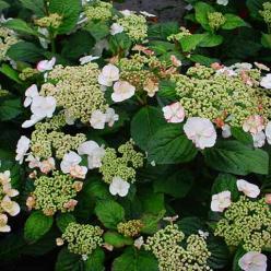 Hydrangea macrophylla 'Sandra' - Hortensia