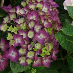 Hydrangea macrophylla 'Deep Purple' (='Schrolla02') - Boerenhortensia