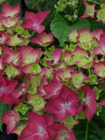 Hydrangea macrophylla 'Red Reggae' (='Schrolla03') - Boerenhortensia
