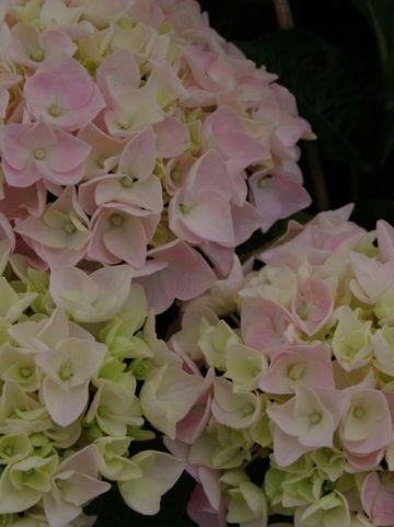 Hydrangea macrophylla 'Soft Pink Salsa' (='Schrolla06') - Boerenhortensia