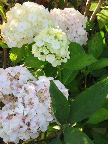 Hydrangea macrophylla 'Soeur Therese' - Tuinhortensia