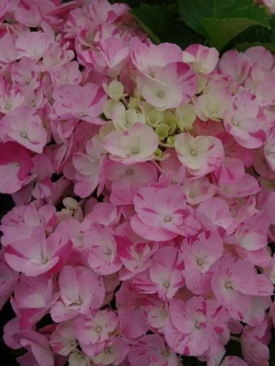 Hydrangea macrophylla 'Hovaria Sweet Fantas' (='Sweet Fantasy') - Boerenhortensia