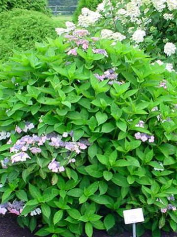 Hydrangea macrophylla 'Tokyo Delight' - Hortensia
