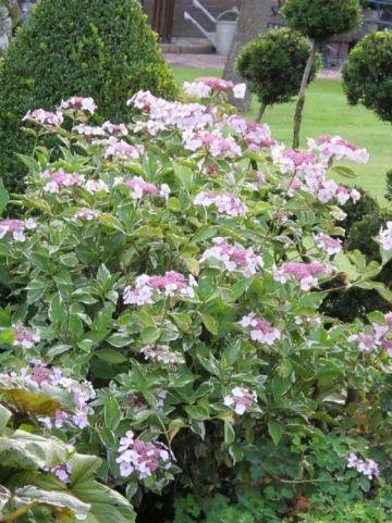 Hydrangea macrophylla 'Tricolor' - Hortensia