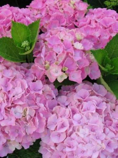 Hydrangea macrophylla 'Sturdy Xian' (='Xian') - Boerenhortensia