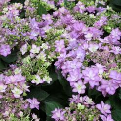 Hydrangea macrophylla 'Together' (='Youmefive') - Hortensia