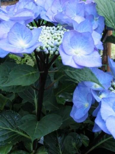 Hydrangea macrophylla 'Zorro' - Tuinhortensia