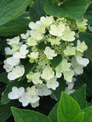 Hydrangea paniculata 'Ammarin' - Pluimhortensia