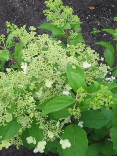 Hydrangea paniculata 'Brussels Lace' - Pluimhortensia