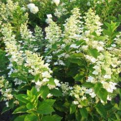Hydrangea paniculata 'Burgundy Lace' - Pluimhortensia