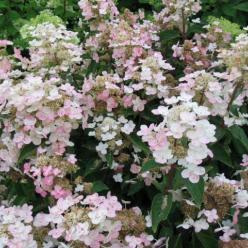 Hydrangea paniculata 'Dharuma' - Pluimhortensia
