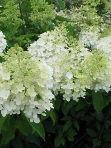 Hydrangea paniculata 'Dolly' - Pluimhortensia