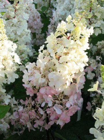 Hydrangea paniculata 'Pinky Winky' - Pluimhortensia, boerenhortensia