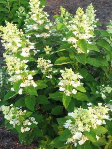 Hydrangea paniculata 'Greenspire' - Pluimhortensia