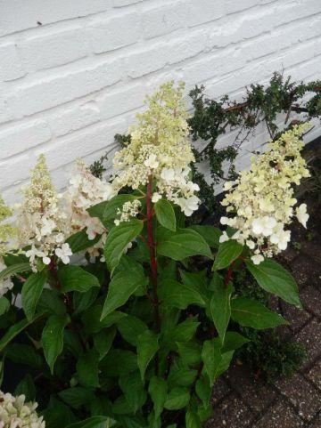 Hydrangea paniculata 'Candlelight' (='Hpopr013') - Pluimhortensia
