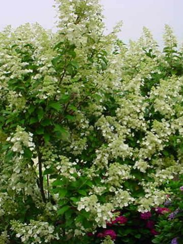 Hydrangea paniculata 'Kyushu' - Pluimhortensia, boerenhortensia