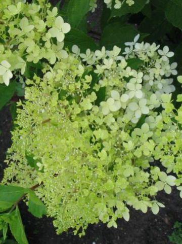 Hydrangea paniculata 'Phantom' - Pluimhortensia