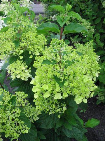 Hydrangea paniculata 'Silver Dollar' - Pluimhortensia