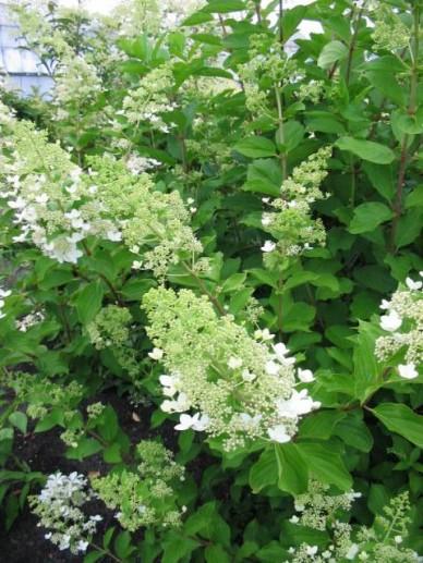 Hydrangea paniculata 'Tardiva' - Pluimhortensia