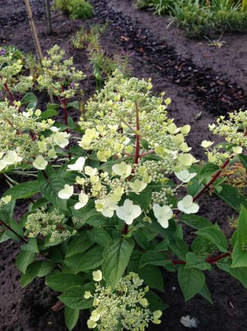 Hydrangea paniculata 'Wims Red' - Pluimhortensia