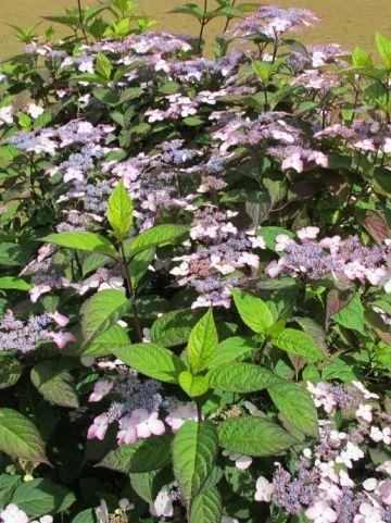 Hydrangea serrata 'Benigaku' - Hortensia