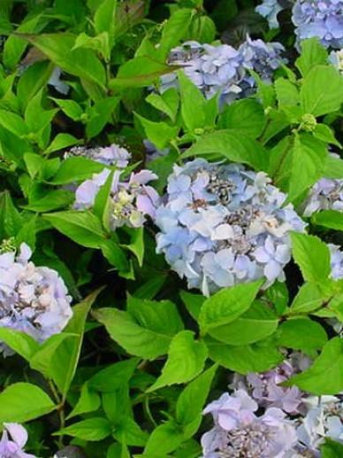 Hydrangea serrata 'Blue Deckle' - Hortensia